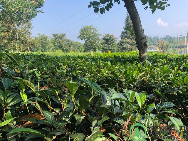 茶树品种云抗10号