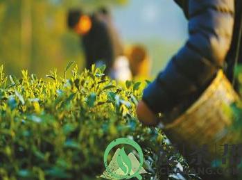 茶乡在春天醒来