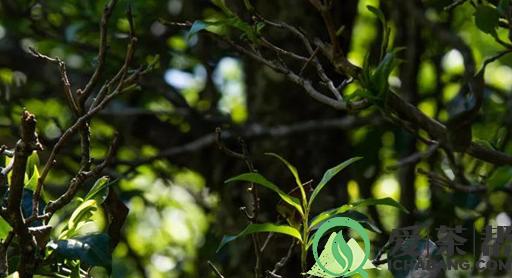 普洱茶养生保健的物质基础是什么图片