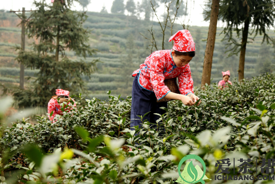 从大自然看普洱茶的采摘过程